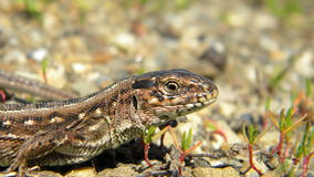 Sand lizard - Lacerta agilis. Portrait of an Sand lizard, Lacerta agilis, sitting on the ground Royalty Free Stock Images