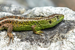 Sand lizard (Lacerta agilis). Sand lizard on a rock getting heat from the sun stock images