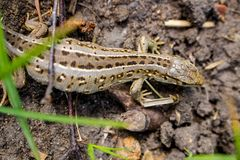 Sand lizard or Lacerta agilis royalty free stock photos