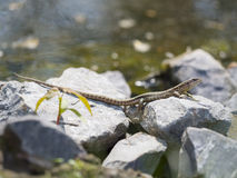 Sand lizard - Lacerta agilis Stock Photos