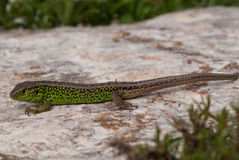 Sand lizard (Lacerta agilis) Royalty Free Stock Photos