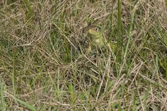 Sand lizard - Lacerta agilis- watching. Picture of a sand lizard taken in Transylvania in March 2014 Stock Photo