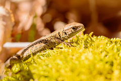 Sand lizard (Lacerta agilis) Stock Images