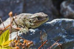 Free Sand Lizard ( Lat. Lacerta Agilis ) Royalty Free Stock Images - 93484999