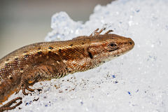 Sand lizard (lat. Lacerta agilis). The lizard after hibernation in the snow stock photo