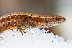 Sand lizard (lat. Lacerta agilis). The lizard after hibernation in the snow stock photography
