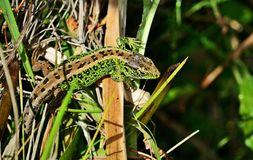 Sand lizard, male Stock Images