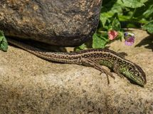 Sand Lizard Stock Photography