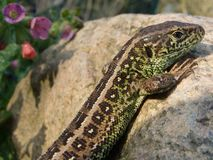 Sand Lizard. Male of sand lizard on stones in garden stock photography