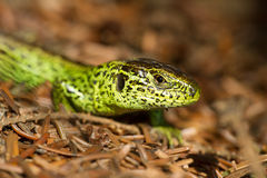Sand Lizard. Male sunning on the ground Stock Image