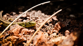 Sand lizard male on the volcanic rocks Royalty Free Stock Photography