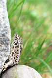 A sand lizard in the nature Stock Photography