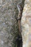Sand lizard Royalty Free Stock Photo