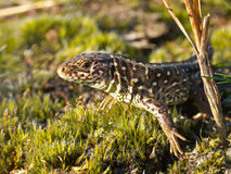 Sand lizard portrait. From behind vegetation Stock Photography