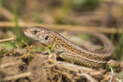 Sand lizard Stock Photos