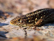 Sand lizard portrait side. Close up Royalty Free Stock Images