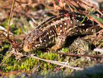 Sand lizard portrait up Royalty Free Stock Photography