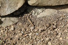 Sand lizard stock images