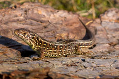 Sand lizard side view Royalty Free Stock Photo