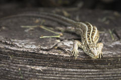Sand lizard. Sitting on a wooden stump Stock Image