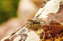 Sand Lizard Royalty Free Stock Photo