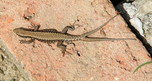 Sand lizard Stock Photos