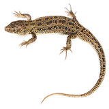 The sand lizard on white Royalty Free Stock Images