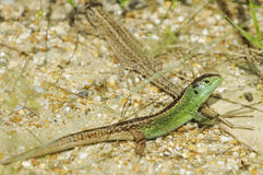 Sand Lizards Royalty Free Stock Photography
