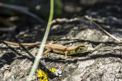 Sand lizzard Lacerta agilis Royalty Free Stock Images