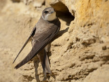 Sand martin Royalty Free Stock Images
