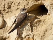 Sand martin Stock Photography