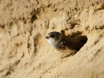 Sand martin Stock Photos