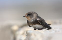 Sand martin close up Royalty Free Stock Image