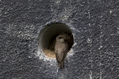 Sand Martin for the entrance of his nest. Netherlands Stock Photo