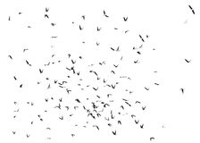 Sand Martin flock of birds isolated Stock Images