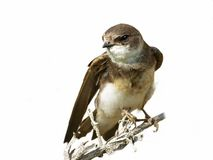 Sand Martin isolated on a white background riparia Stock Photos