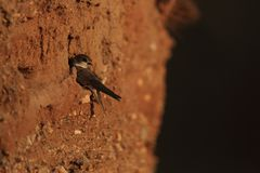 Sand martin at nest cavity. Sand martin sitting on sand wall at his nest cavity in nesting colony stock photography