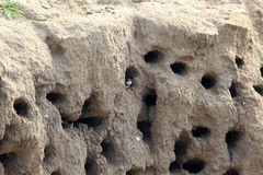 Sand Martin nest Stock Photo