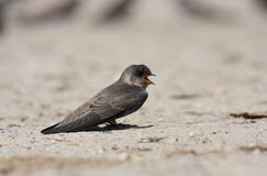 Sand martin (riparia riparia) Stock Photography