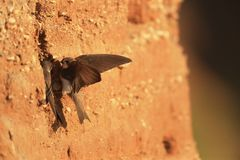 Pair of Sand martin at nest cavity Royalty Free Stock Image
