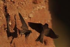 Sand martin flying at nest cavity Stock Photo