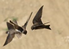 Sand Martin, swallow in flight, riparia Royalty Free Stock Photo