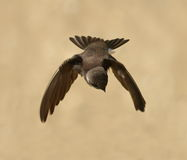 Sand Martin, swallow in flight Royalty Free Stock Photo