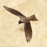 Sand Martin, swallow in flight Stock Image