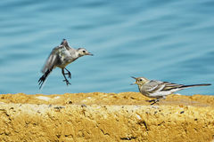 Sand Martins Royalty Free Stock Photography