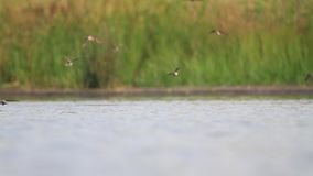 Sand martins fly over the lake and drink water stock video
