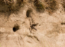 Sand martins Royalty Free Stock Images