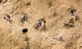Sand-martins Royalty Free Stock Image
