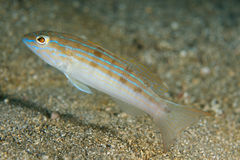 Sand Perch. Diplectrum formusom, picture taken in south east Florida Royalty Free Stock Image