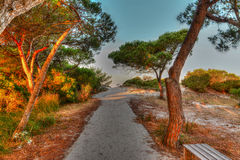Sand in the pine wood at dawn Royalty Free Stock Photography